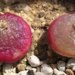 2019年ブルゲリ雑感 このデリケートな植物(Conophytum burgeri)