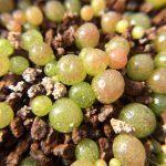 コノフィツム ブルゲリ(Conophytum burgeri) 初めての植え替え